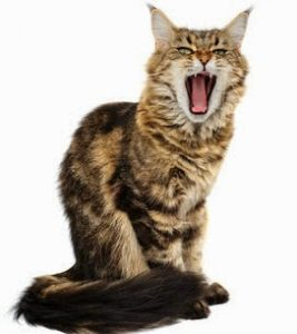This yawning cat isn't being rude. In cat body language, yawning means the cat is relaxed.