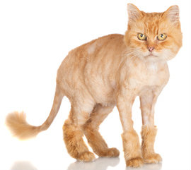 Cats hate lion cuts like this one, but not because they're embarrassing.