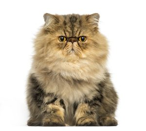 This grouchy Persian might appreciate a cat behavior consultation.