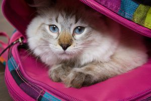 Does this cat hiding in her human's backpack know she's going back to work after COVID?