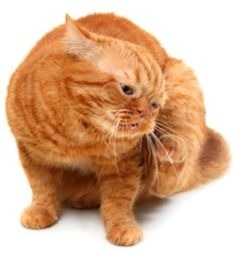If your cat has fleas, there are natural ways to get rid of them.