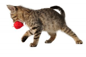 Why do cats carry their toys around? They have their reasons!